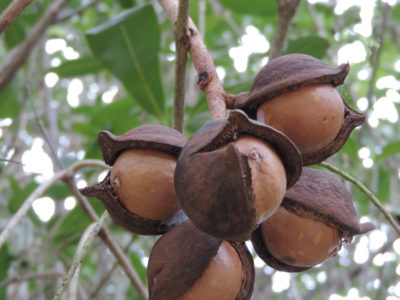 Safire - macadamia nuts
